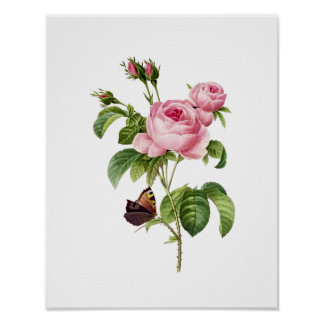 Rosa botânico Centifolia Redoute Poster