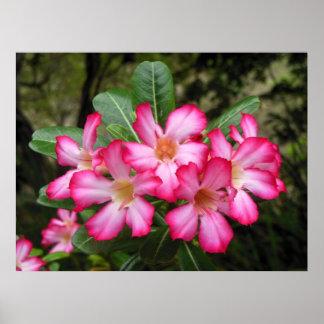 Rosa de deserto pôsteres