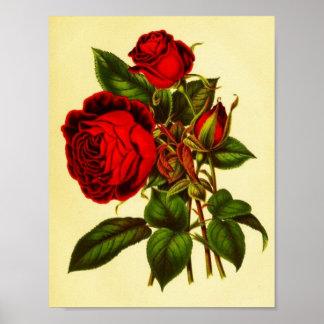 Rosa vermelha botânica pôster
