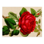 Rosa vermelha cartões postais