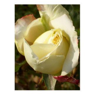 Rosas brancos românticos de CricketDiane do Cartão Postal