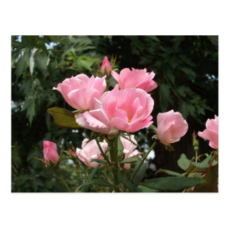 Rosas na flor cartão postal