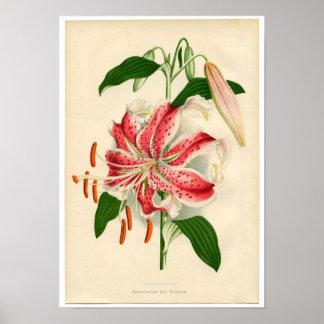 Rubrum vermelho do lancifolium do lírio de tigre posteres