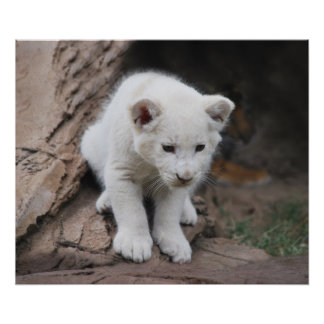Seis filhotes de leão brancos semanas de idade do  poster