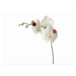 Senhora Insetos Orquídea Cartoes Postais