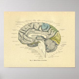 Superfície anatômica do número médio do cérebro de poster