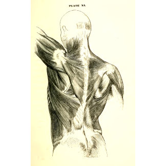 Vintage Anatomy | Back Muscles