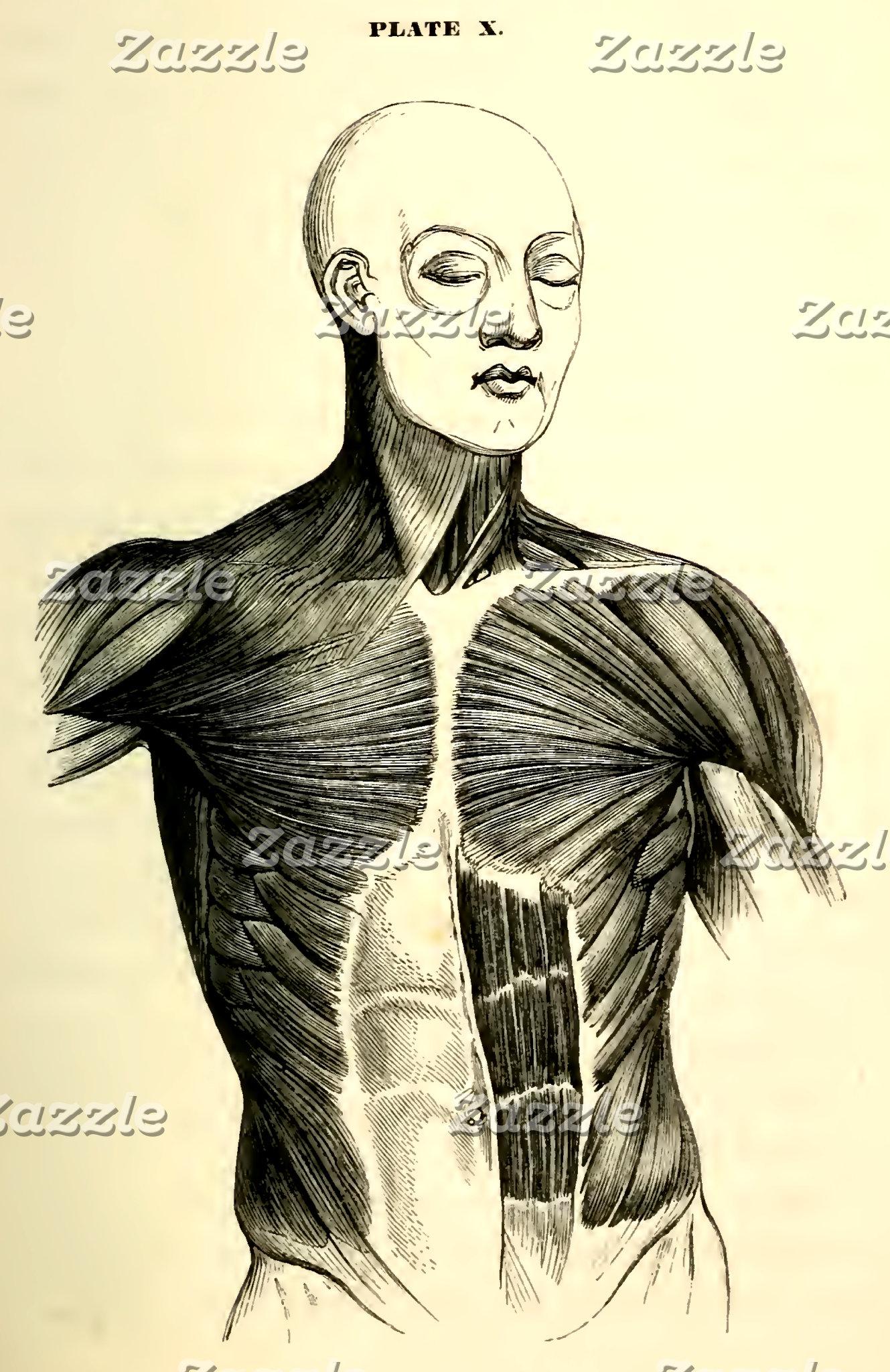 Vintage Anatomy | Torso