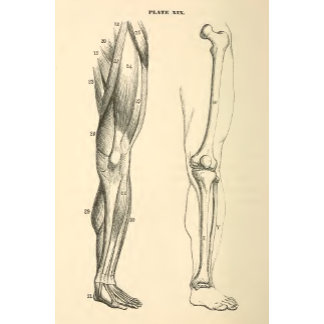 Vintage Anatomy |   Muscles and Bones of the Leg