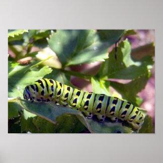 Swallowtail preto Caterpillar 1 poster