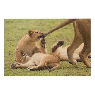 Tela De Madeira Cubs que joga com leoa