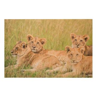Tela De Madeira Orgulho do leão Cubs