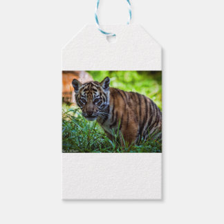 Tigre Cub de Sumatran dos alugueres