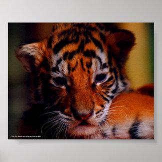Tigre Cub do poster - foto por John A. Sylveste…