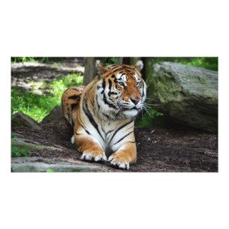Tigre de espera, fotografia do tigre, animal selva