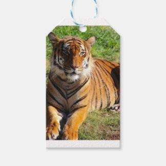 Tigre Malayan dos alugueres