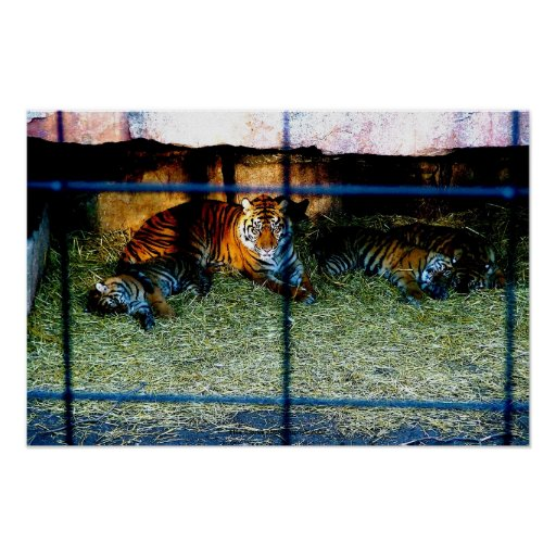 Tigres na fotografia do jardim zoológico posters