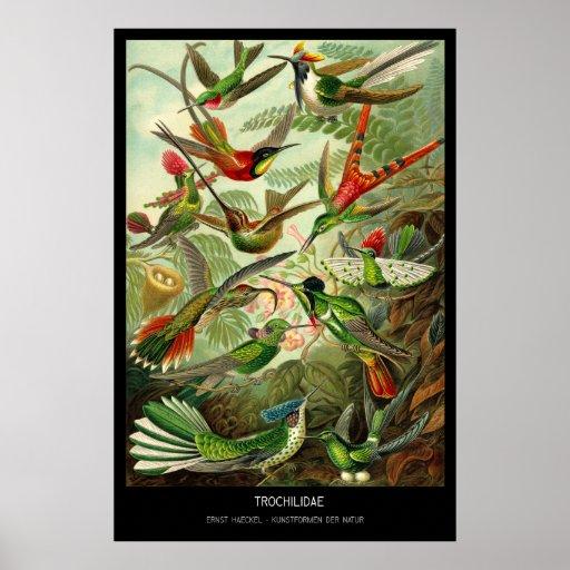 Trochilidae - placa 99 - der Natur de Kunstformen Poster