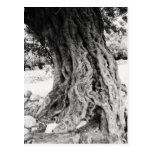 Tronco da oliveira antiga na fotografia da piscina cartões postais
