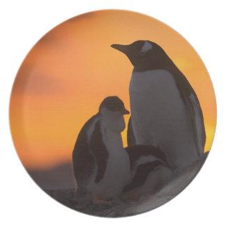 Um adulto e um pintinho do pinguim do gentoo são m louça de jantar