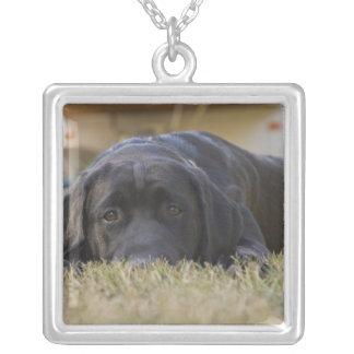 Um filhote de cachorro de labrador retriever colar banhado a prata