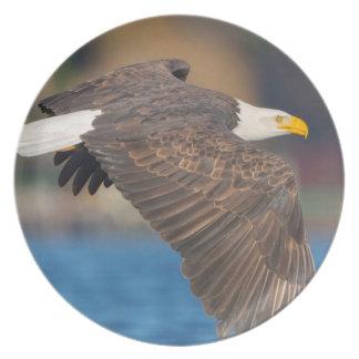 Uma águia americana adulta voa baixo sobre a água pratos de festas