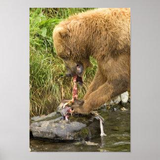 Urso de Brown que alimenta nos salmões 2 Posters