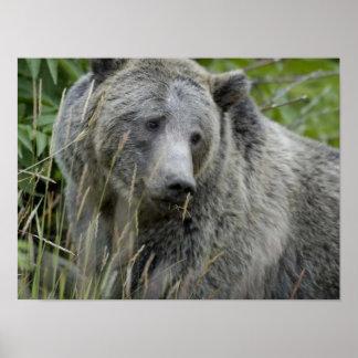 Urso de urso posters