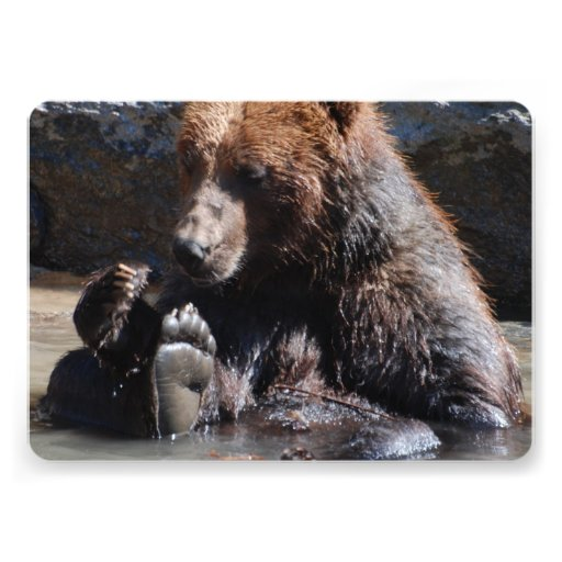 Urso embebendo convites