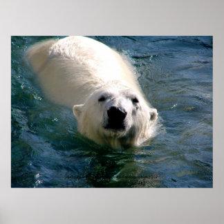 Urso polar na fotografia da água pôster