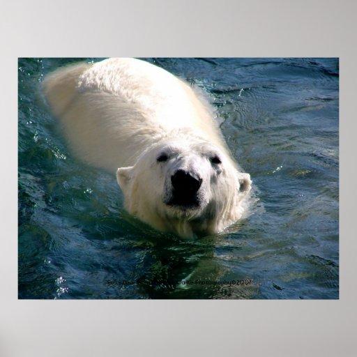 Urso polar na fotografia da água poster