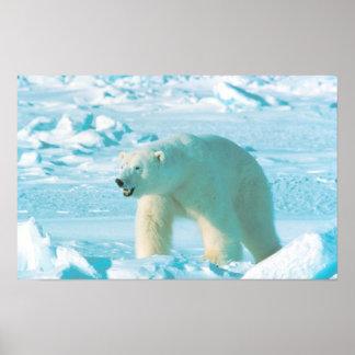 Urso polar poster