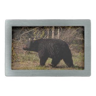 Urso preto carnudo de CBB
