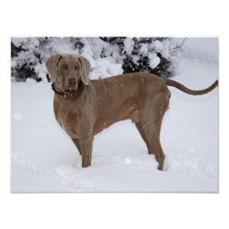 Weimaraner bonito na neve impressão de foto